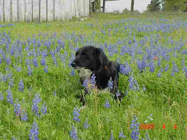 Loading photo of Squeak in bluebonnets...