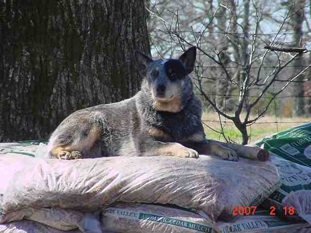 Loading photo of Smoky on the mulch pile...